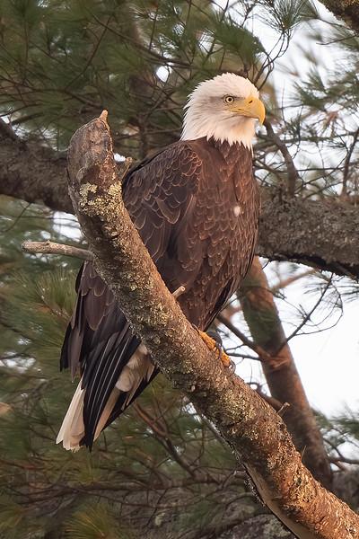 #1532 Bald Eagle