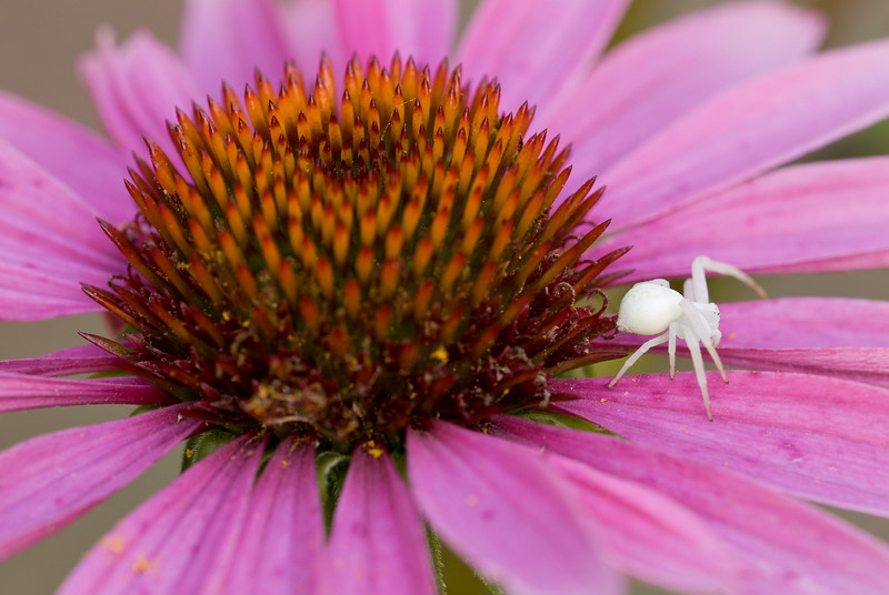 This is a female Crab Spider, the males are a lot smaller.