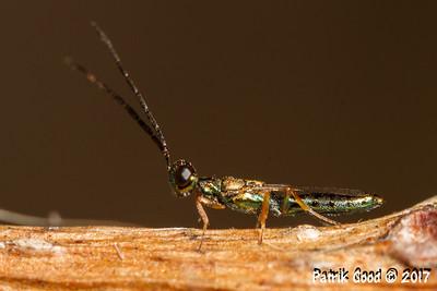 Rainbow Wasp