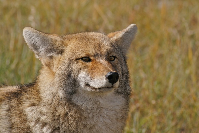 Coyotes use their ears as much as their eyes when huting [September; Yellowstone National Park, Wyoming]
