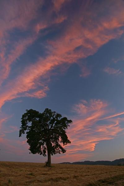 Oak tree at sunset, Carlton