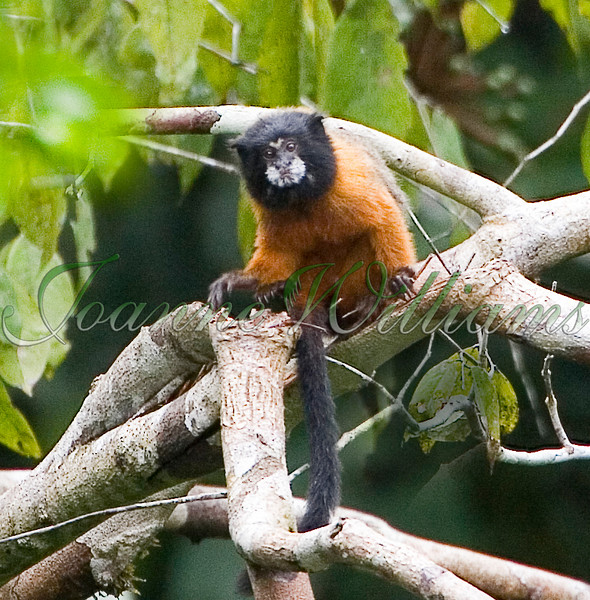 Golden-mantled Tamarin.jpg