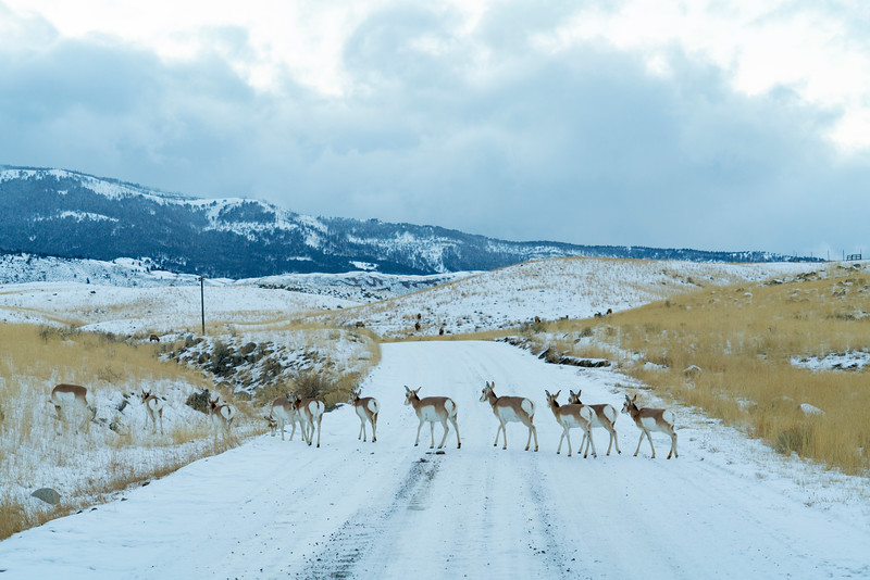 _AR70871 Pronghorns crossing the road.jpg