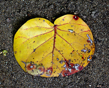 Leaves as Art  (Cahuita National Park)