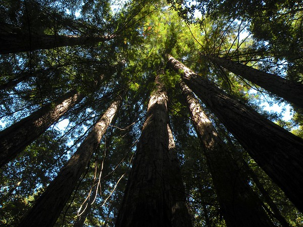 Redwoods and Some - Portola Redwoods State Park