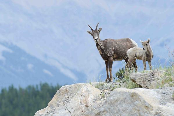 Rocky Mountain Wildlife