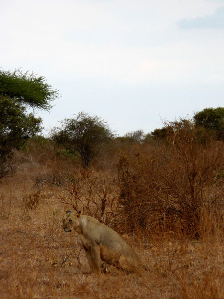Lion Tsavo East.jpg