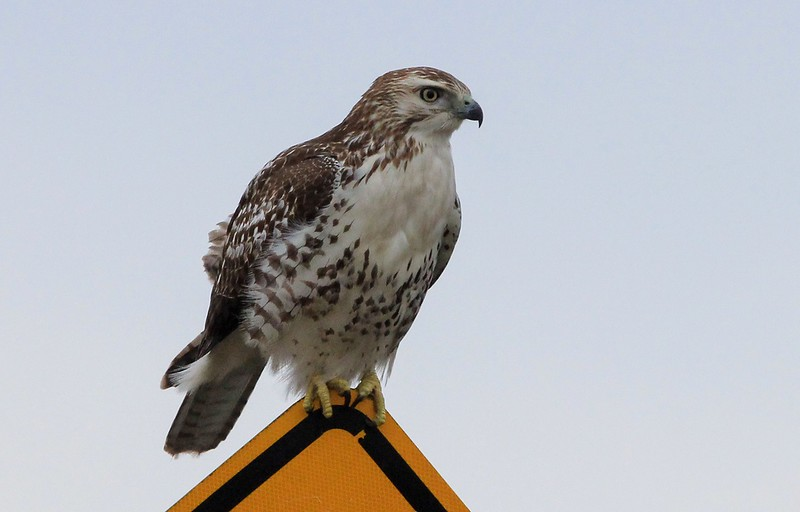 Upon further review, this is not a rare Krider's Red-tailed Hawk as originally reported. Belly band too wide and prominent, head not white enough, etc. (If you lost presitge/and or money on this please accept my condolences, and thank you for your confidence anyway!)