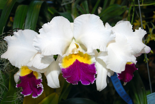 San Francisco Orchid Show 2008