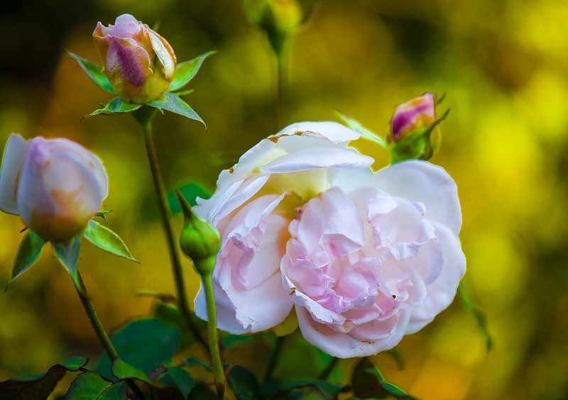SummerRose-102-Edit-Edit.jpg