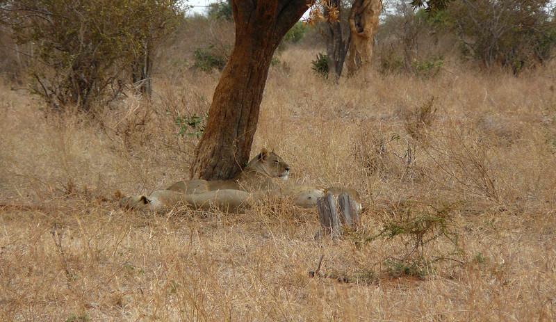 Lions Sleep Tsavo East.jpg