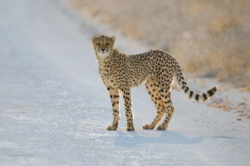 Cheetah, Etosha NP, Namibia, July 2011-1.jpg