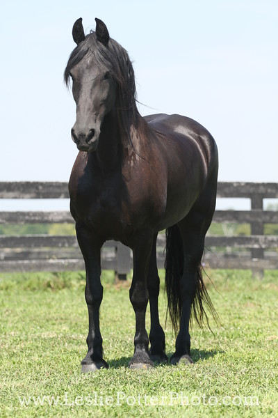 Friesian Horse Standing in Pasture