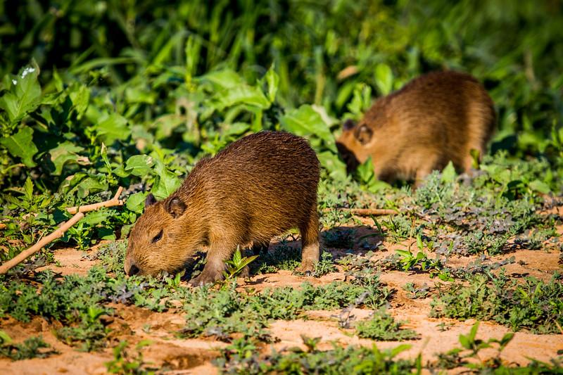 capybara (Hydrochoerus hydrochaeris) Pantanal, Poconé, Brazil. Two young capybara grazing.