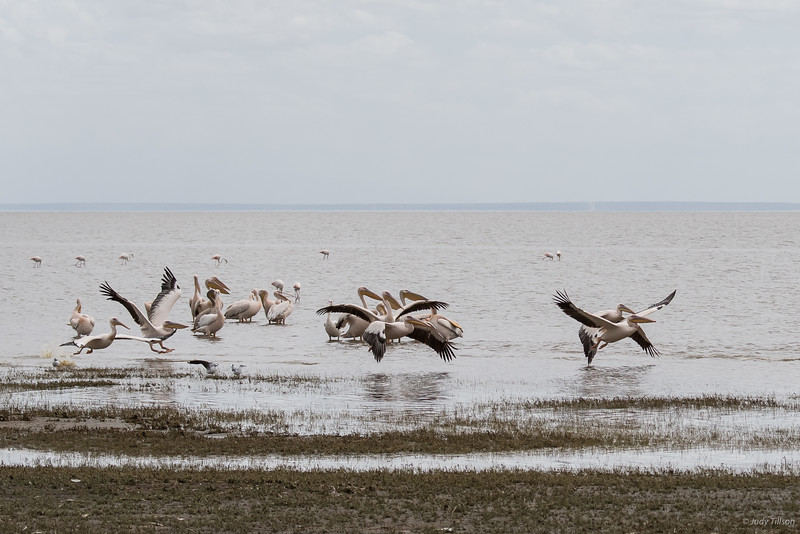 Lake Manyara African white pelicans and flamingoes-2088.jpg
