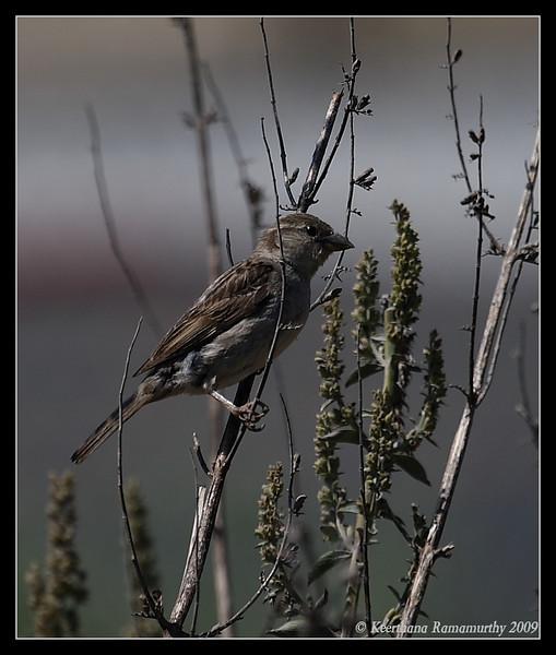 House Sparrow Female, Famosa Slough, San Diego County, California, May 2009