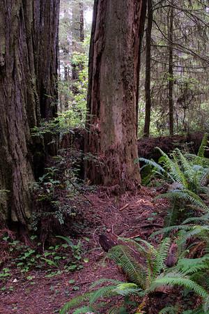 Redwoods 6/02