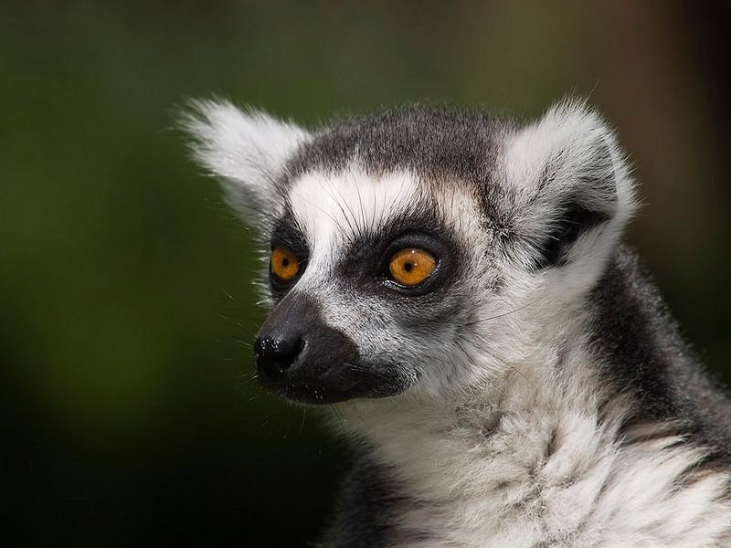 pjphoto59 ring-tailed Lemur Portrait