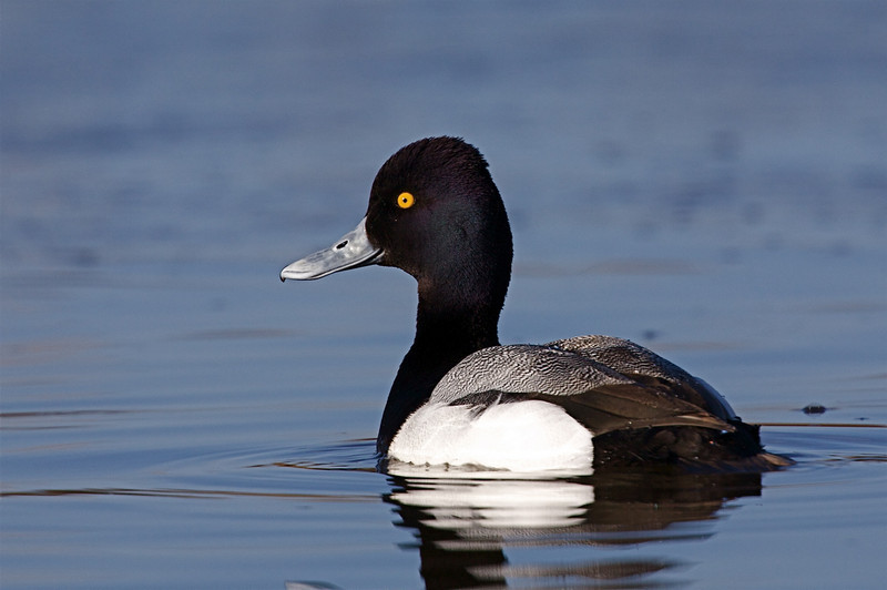Lesser Scaup from photo blind #6 at the Lower Klamath NWR