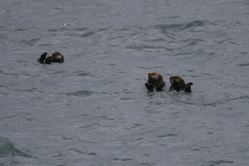 sea otters - very playful