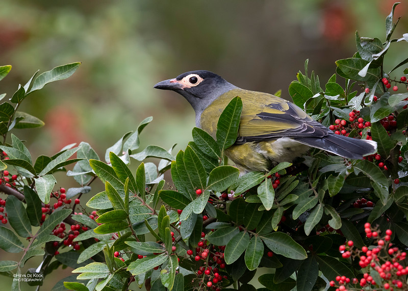 Australian Figbird, Oxley Creek Common, Brisbane, QLD, Jul 2018-2.jpg