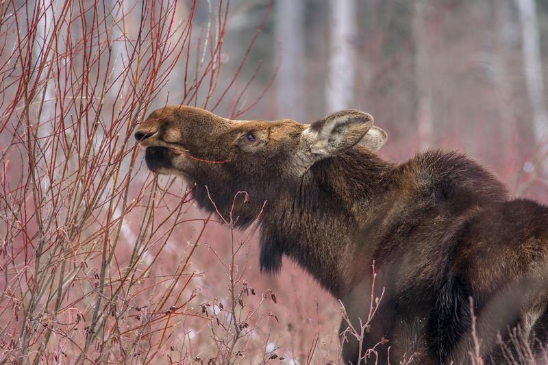 Moose cow yearling in snow Blue Spruce Road Sax-Zim Bog MN DSC02442.jpg