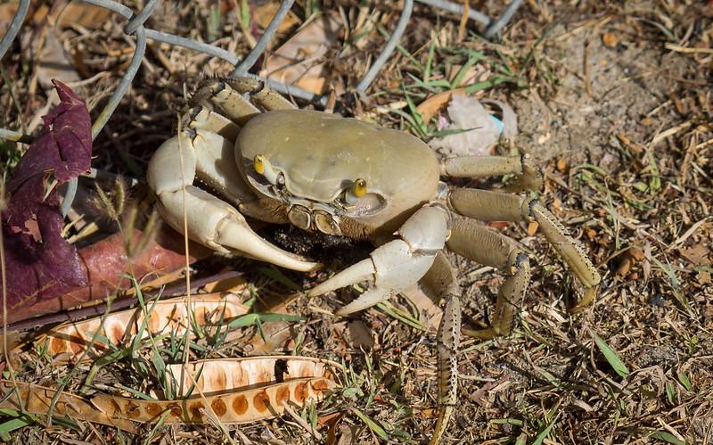 Grenadan Land Crab