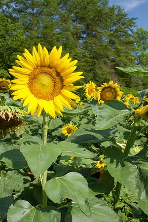 Sunflowers of Brattonville, SC