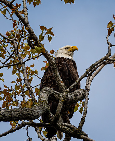 Eagles, Living in the Land of the Brave