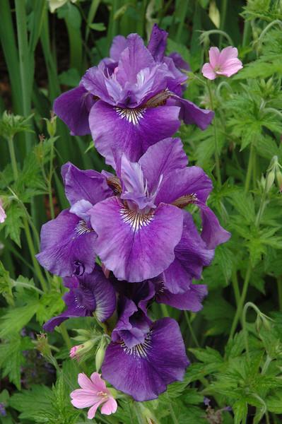 Iris (4).JPG