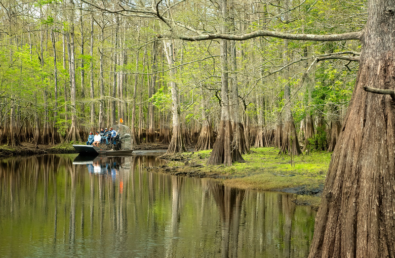 Cypress Trees Air Boat Rides through the swamps.