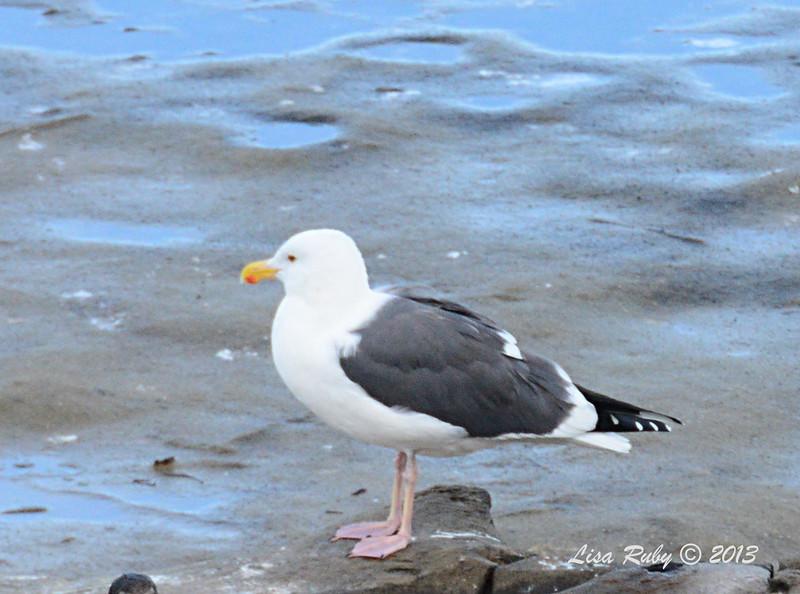 Adult Western Gull - 12/1/13 - La Jolla Cove