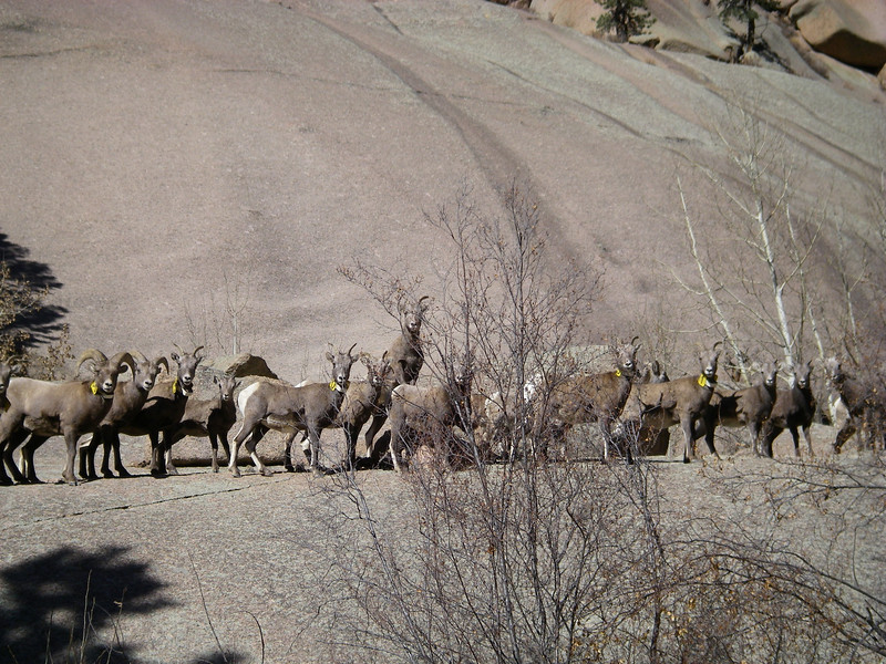 Two rams on left, several ewes and many adolescents.  Note several have neck bands.