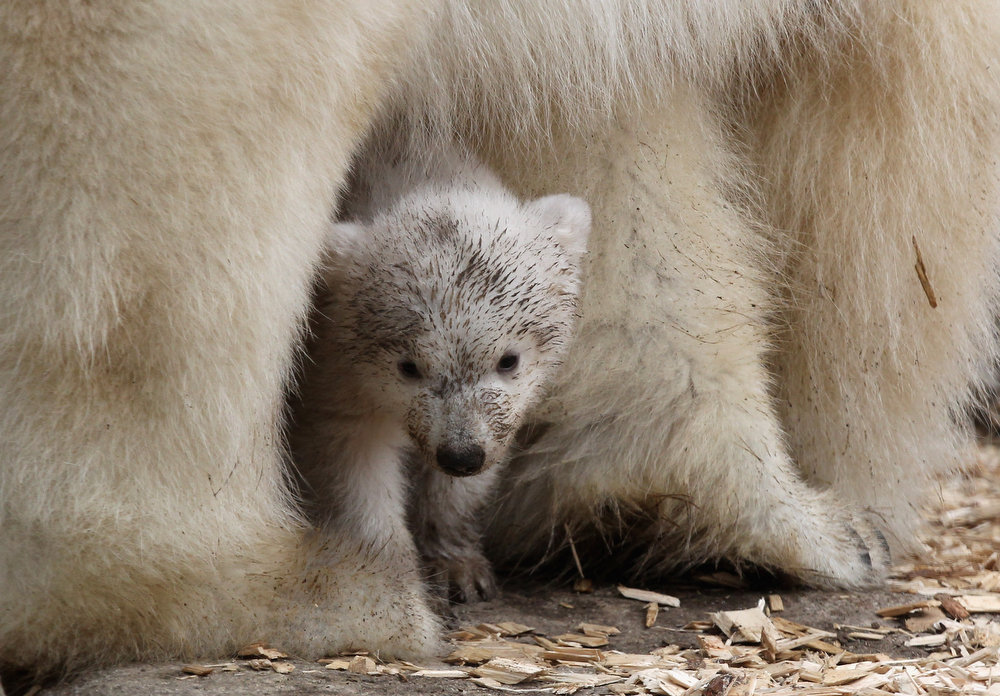 . One of the 14 week-old twin polar bear babies is seen under her mother Giovanna during their first presentation to the media in Hellabrunn zoo on March 19, 2014 in Munich, Germany. The male and female twins were born on December 9, 2013 in the zoo.  (Photo by Alexandra Beier/Getty Images)