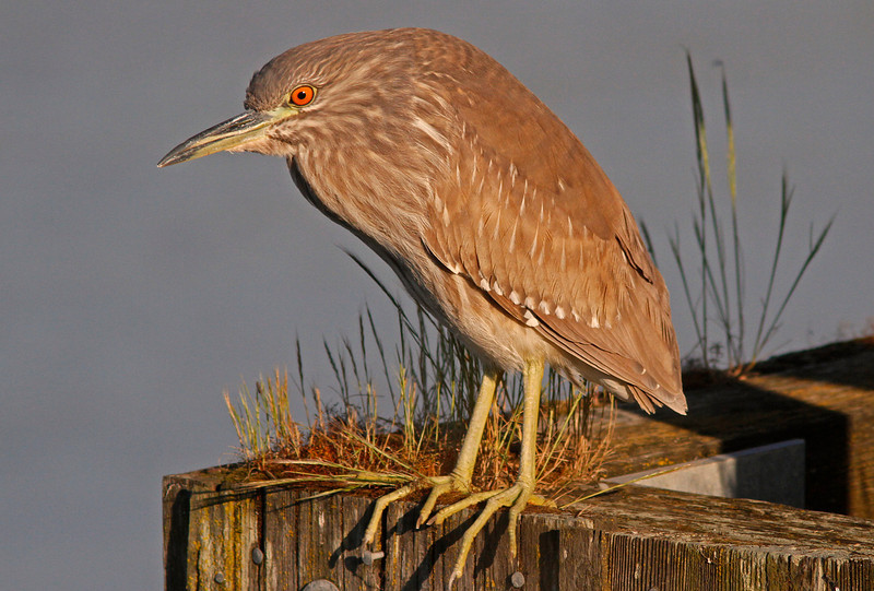 Immature Black-Crowned Night Heron  (Las Gallinas)