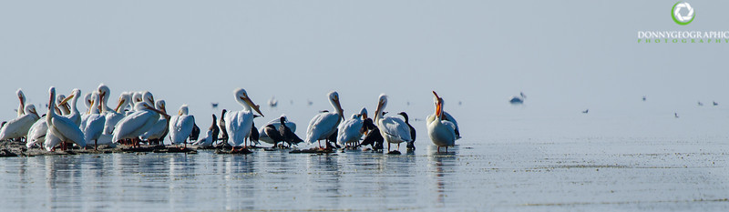 Pelican convention