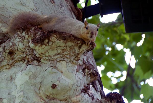 """""""Blonde"""" Squirrel"""