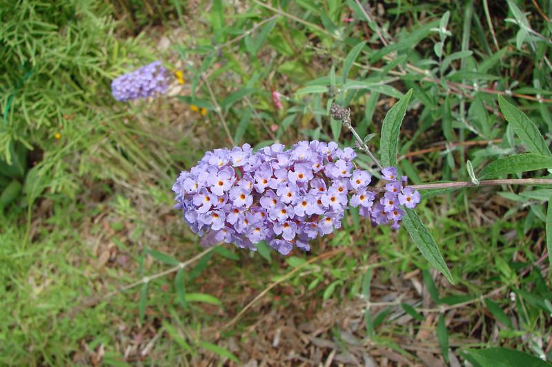 Buddleia davidii / Nanho Blue Butterfly Bush (semi-evergreen shrub) 6/21/07