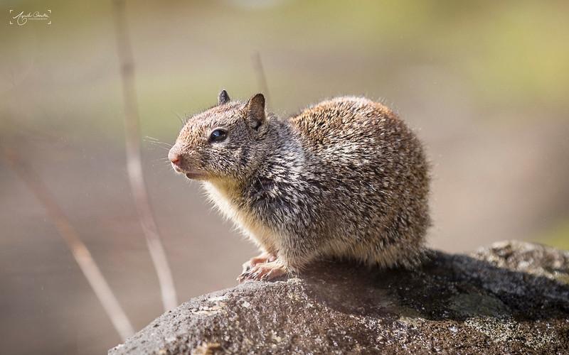 04_22-24_2017_Yosemite_Squirrel_01.jpg