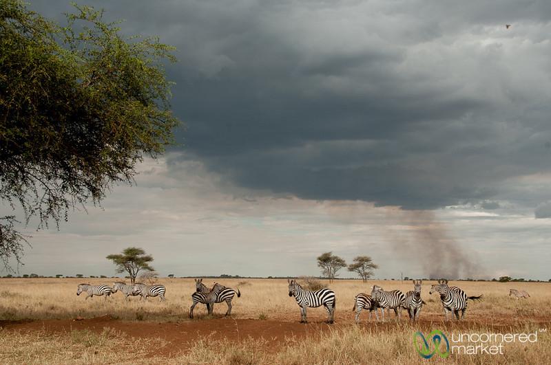 Zebras Before the Storm - Serengeti, Tanzania