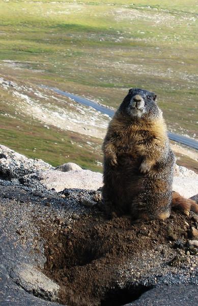 Mt. Evans/Mt. Goliath Marmots, Aug 28