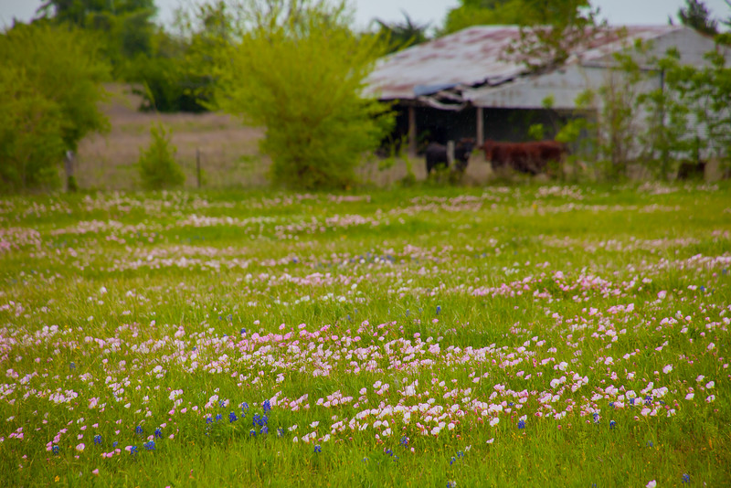 2016_4_9 Texas Wildflower Shoot-8545.jpg