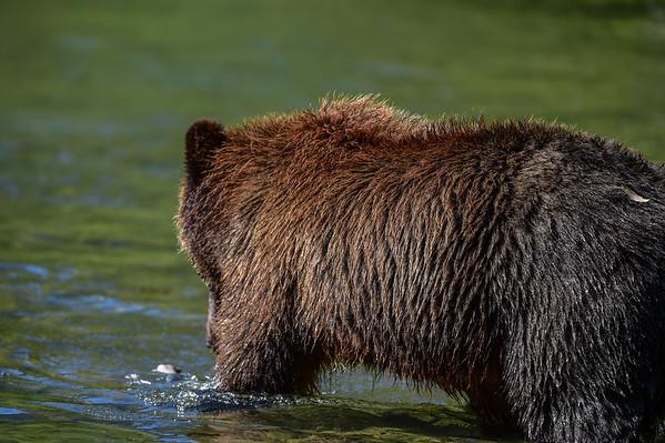 9-10-15 Bella Coola - Mom & Cub Fishing Lessons