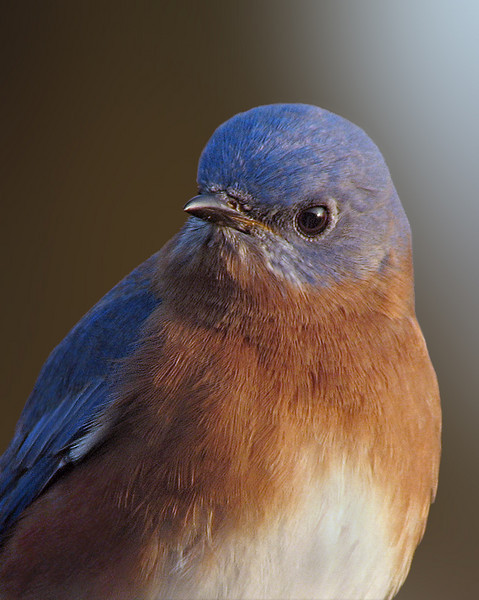 bluebird_1829a.jpg