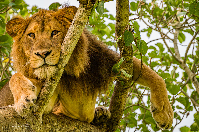 male tree climbing lion2.jpg