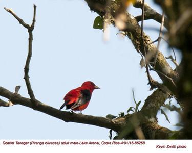 Scarlet Tanager M86268.jpg