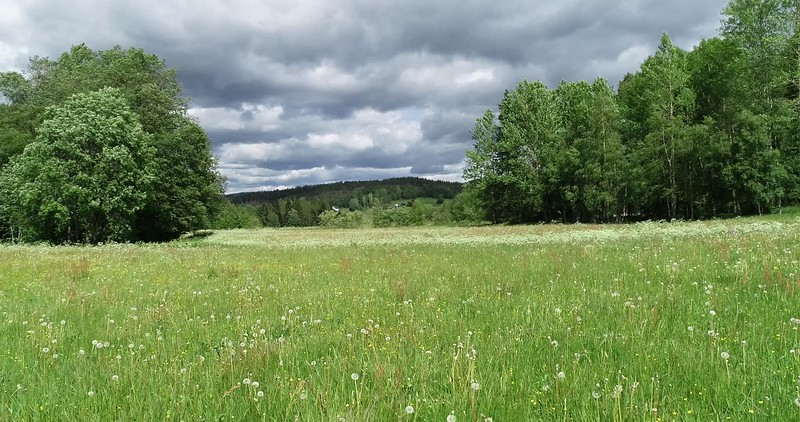 Aerial: flying over a meadow with dandelion blowballs