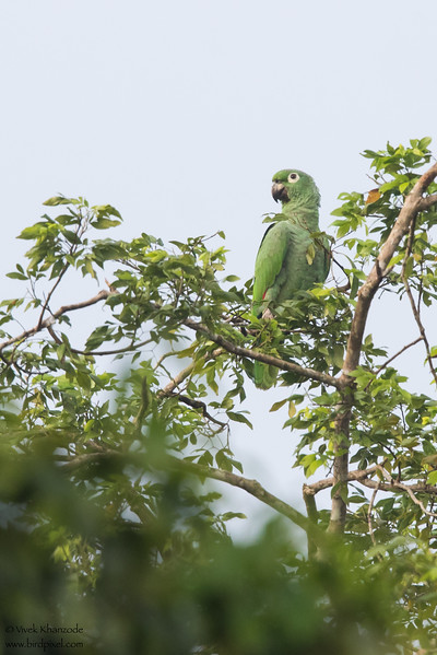 Mealy Parrot - Gamboa Rainforest Resort, Gamboa, Panama