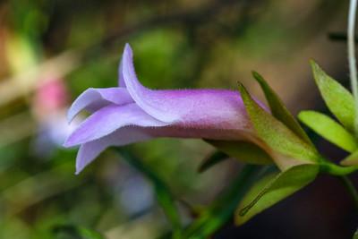 Scrophulariceae