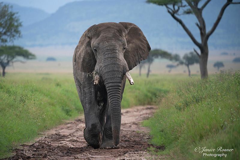 Determined Elephant
